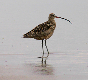 Long-billed Curlew image