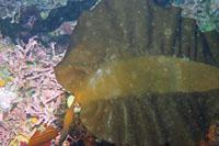 Broad-rib kelp thumbnail