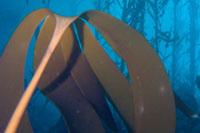 Setchell's kelp thumbnail