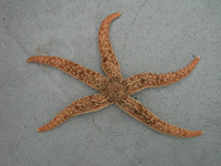 False ochre star thumbnail