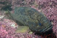 Grass rockfish thumbnail