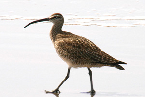 Whimbrel image