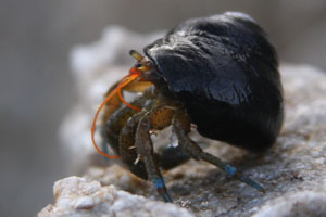 humans vs pagurus berhardus Natural animal populations are increasingly exposed to human impacts on the  environment, which  2009b) and hermit crabs pagurus bernhardus (white et al.
