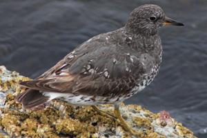 Surfbird image