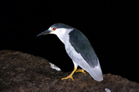 Black-crowned Night Heron thumbnail