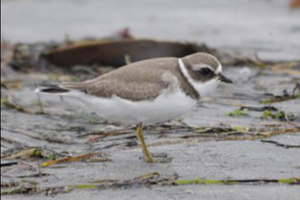 Semipalmated Plover image