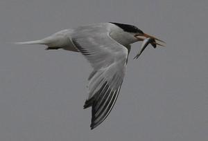 Elegant Tern  image