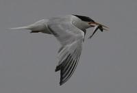 Elegant Tern  thumbnail