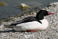 Common Merganser thumbnail