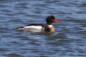 Red-breasted Merganser image