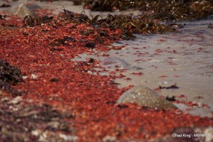 Red pelagic crabs (Pleuroncodes planipes) washed up on Coral Street Beach in Pacific Grove, CA. These crustaceans began washing ashore the day prior and were seen in even greater densities. This is an exceedingly unusual event for the Monterey area, as these crabs are normally offshore of Baja California, but warm waters have transported them north. These crabs haven't washed ashore in this area since 1983, an El Nino year. NOAA is tracking a current El Nino that has contributed to the warm water plume.