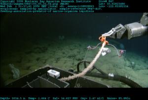 Davidson Seamount - Evoplosoma voratus - MBARI