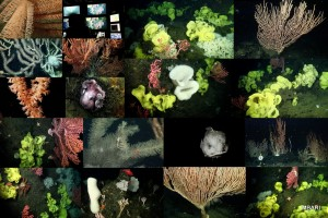 A colorful collage of some of the incredible sights from today's dive on Sur Ridge, which included more than 10 species of coral, many different sponges, two blob sculpins, nudibranchs, brooding octopii, dozens of other cnidarians all on a landscape of ever-changing and diverse habitat.