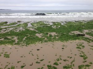 Ulva is brought in by waves, which look green due to the high amounts of sea lettuce being carried from the ocean onto the beach. Photo by Dr. Steve Lonhart, NOAA MBNMS.