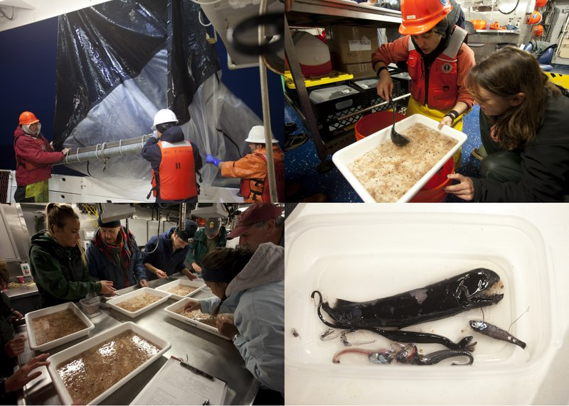 Clockwise from upper left: Shimada crew hauling in tucker trawl; Erica Burton (MBNMS) transferring contents from bucket to tray for sorting; a small sample of the fishes being sorted; science crew busily sorting fishes from everything else (photos by Chad King)