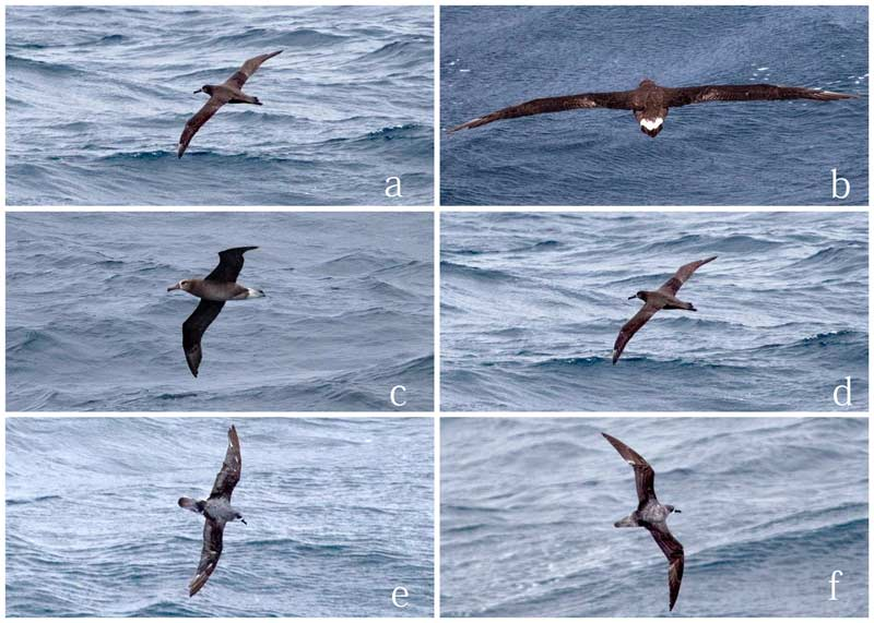 Photos of birds taken on survey May 8, 2015. Photos a-d are of Black-footed albatross. Photos e and f are of a Cook's petrel. (photos by Chad King)