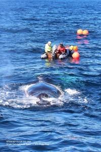 Whale-tangle2
