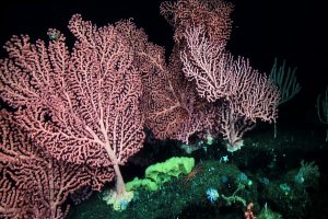 A beautiful stand of several bubblegum corals (Paragorgia arborea) from the western slope of Sur Ridge. The largest individual is more than 1 meter across and 1.5 meters tall. (Photo: MBARI)
