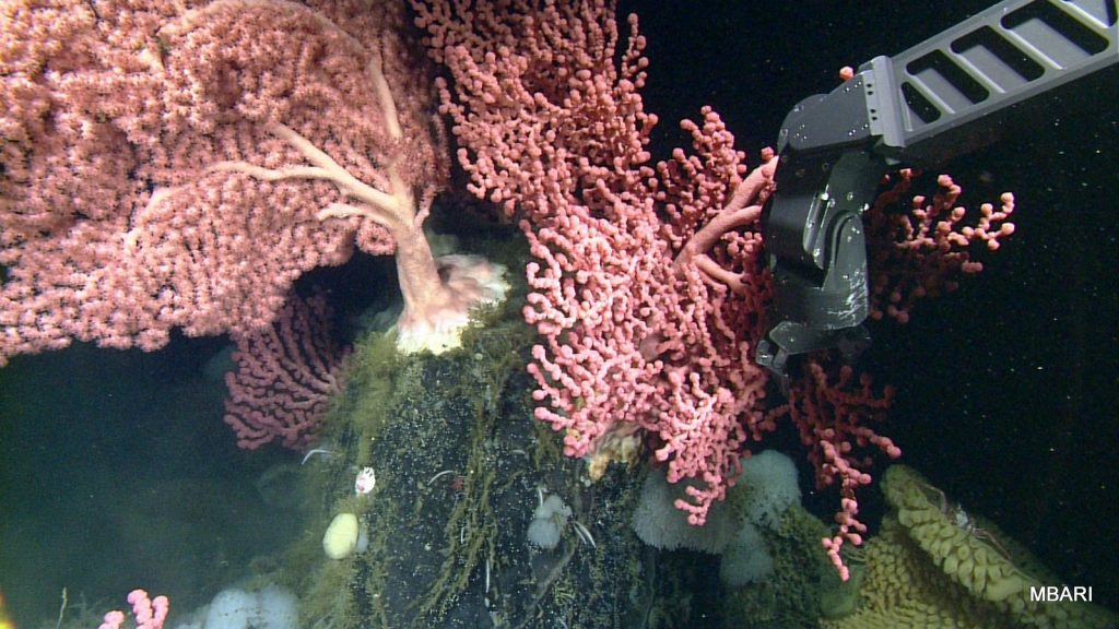 "The manipulator arm of the ROV ""Doc Ricketts"" taking a sample of bubblegum coral for transplantation experiments."
