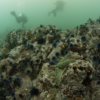 Urchins continue to dominate parts of Monterey Bay